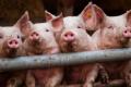 Коригування годівлі свиней допомагає уникнути теплового стресу