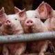 Ціни на свинину живою вагою стабілізувалися