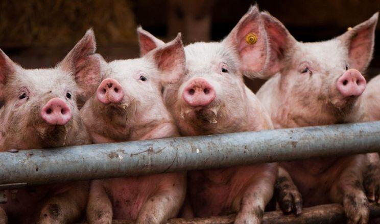 За сім місяців в Україні на 1,5% помешало свиней