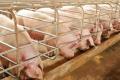 Жовчні кислоти покращують засвоєння корму свинями