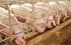 Від АЧС загинули свині у державному свиногосподарстві на Полтавщині