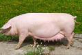 До кінця 2021 року китайське поголів'я свиней відновиться на 80%, – USDA