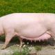 Наприкінці поросності треба скорегувати споживання корму свиноматкою
