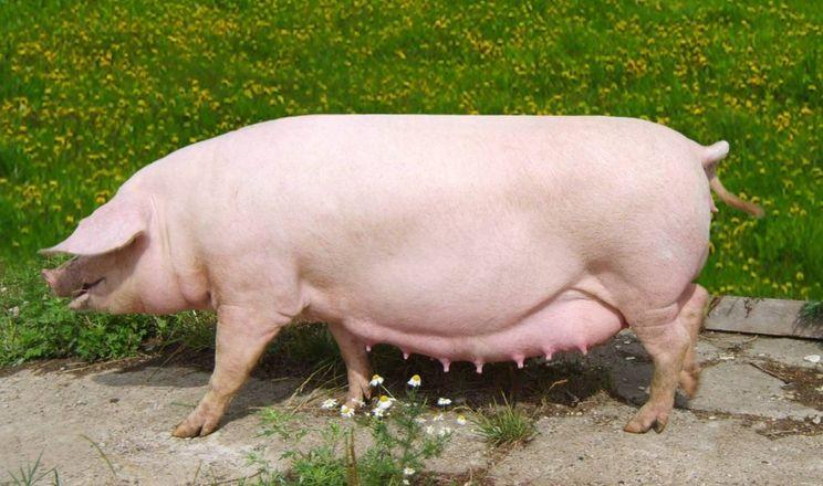 У Китаї вперше за рік зросло поголів'я свиноматок