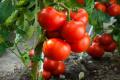 Білорусь експортувала у 5 разів більше томатів, ніж Україна