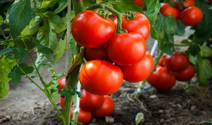Ознаки отруєння томатів передусім проявляються на молодих листках