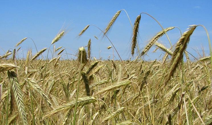 Неякісний захист озимого ячменю від бур'янів загрожує зниженням врожайності на 20-40%