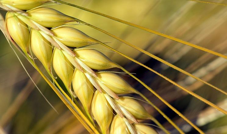 Після соняшнику врожайність озимого ячменю зменшується на 1,5-2,5 тонн/га