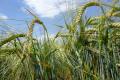 Комплексні органо-мінеральні добрива дозволяють збільшити врожайність озимого ячменю на 15-44%
