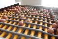 «Овостар Юніон» у І кварталі збільшив продажі яєць на 14,5%