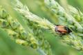 Цього року в Україні зростатиме шкідливість хлібних блішок
