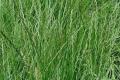 Покривні багаторічні трави краще сіяти в липні-серпні
