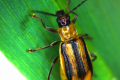У п'яти районах Київщини ввели карантин через західного кукурудзяного жука