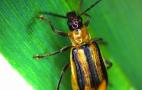 На Кіровоградщині, Одещині і Рівненщині ввели карантин через західного кукурудзяного жука