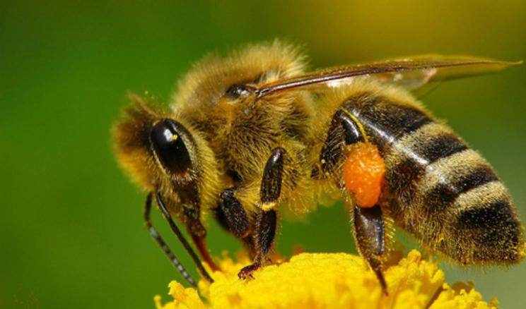 Для кращого запилення сільгоспкультур слід комбінувати запилення осміями і медоносними бджолами