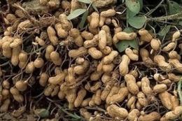 Для вирощування арахісу найкраще підійде Південь України