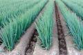 На врожайність ріпчастої цибулі найбільше вплинули добрива з сіркою