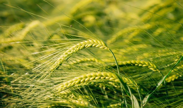 «Східагроконтракт» отримав найвищу врожайність ячменю серед підприємств «Агроліги»