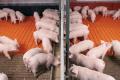 Вітчизняні вчені досліджують вплив нанотехнологій на свиней