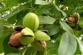 Фермер підрахував рентабельність горіхового саду