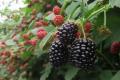 Фермер назвав шість складових успішного вирощування ожини