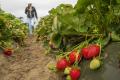 У Каліфорнії презентували 5 нових сортів полуниці