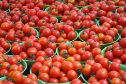 Названо найурожайніші гібриди томатів для Західного Лісостепу