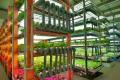 На підземній фермі вирощують 150 урожаїв зелені на рік