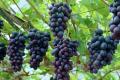 Виноград в теплицях окупився за три з половиною роки