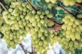 На півдні та в центрі України можливі втрати врожаю винограду