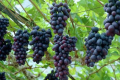 Селекціонери вивели нові сорти винограду, пристосовані до українських умов