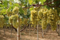Херсонського винограду зібрали менше, але кращої якості
