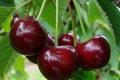 У Польщі очікується низький урожай вишні