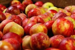Як живлення кальцієм впливає на лежкість яблук