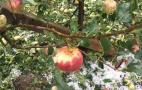 Через спеку та гради скоригують прогноз врожаю фруктів в Європі