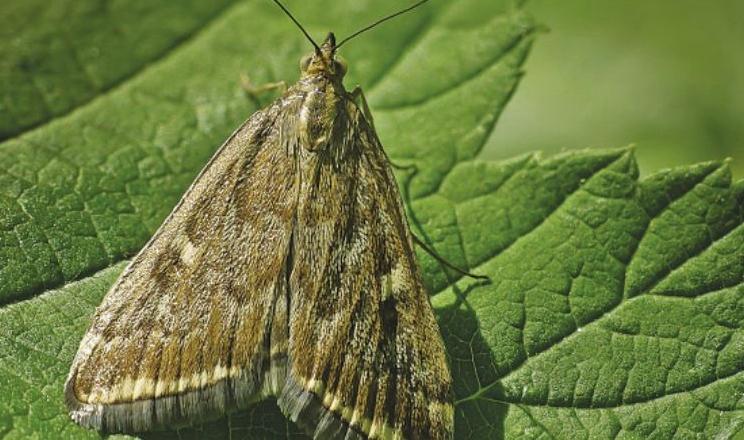 Спекотна посушлива погода зменшує шкідливість лучного метелика