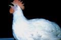 Угорщина не може подолати грип птиці