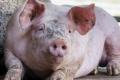 Ціна живця свиней зрівнялася з минулорічною