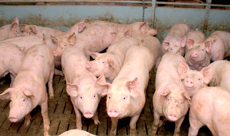 Що смакує свиням?