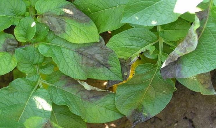 Знищення вибракуваної картоплі допомагає зменшити поширення фітофторозу