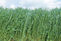 Урожай жита цього року впаде до історичного мінімуму, - прогноз