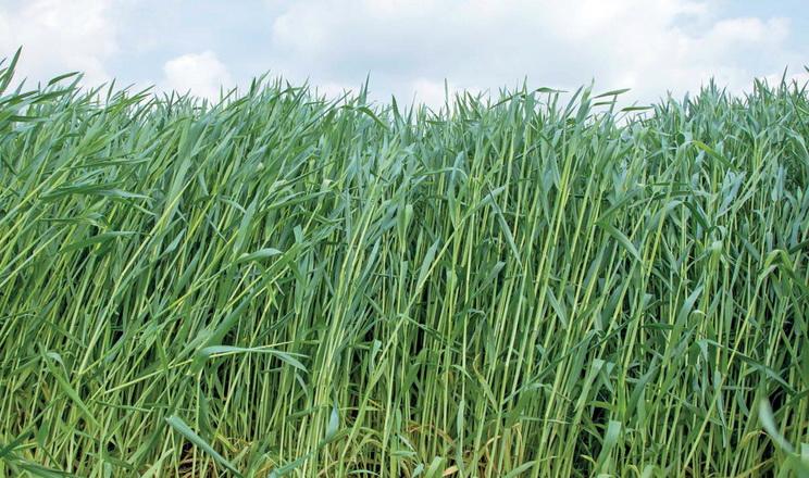 Найоптимальнішою культурою для заготівлі злакового силосу є жито