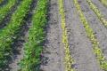 Надлишок марганцю частіше проявляється на кислих ґрунтах