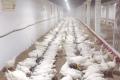 «Піддубний» планує протягом року безперебійно отримувати інкубаційні яйця бройлерів