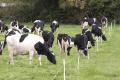 Буферне випасання корів практикують у Скандинавії та Великій Британії
