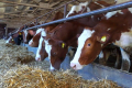 Донецька «Нова Нива» планує отримувати від корови 10 тис. л молока на рік