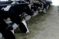 Продовжено прийом заявок на одержання дотацій за утримання корів