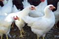 Менші краплі вакцини глибше проникають у респіраторний тракт птиці