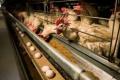 Під дією теплового стресу кури несуть яйця з тонкою шкаралупою