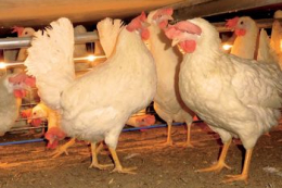 Дефіцит магнію у раціоні птиці може спричинити її загибель